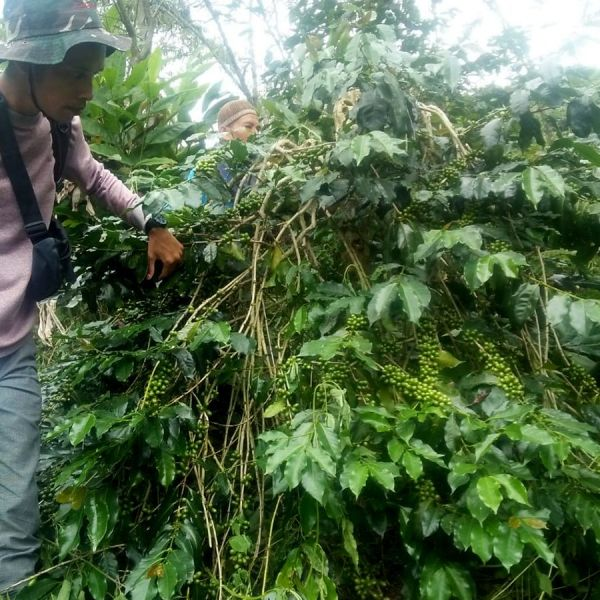 Indonesia Sumatra Organic Espresso